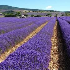 9天法國普羅旺斯薰衣草之旅
